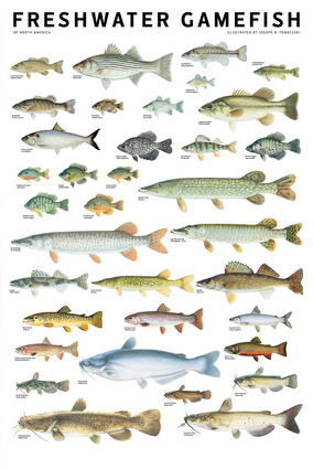 Freshwater gamefish of north america poster independent for Freshwater fishing games