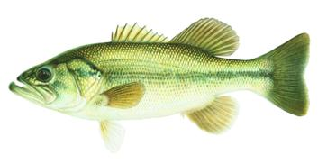 Freshwater gamefish of north america poster independent for California fish and game regulations