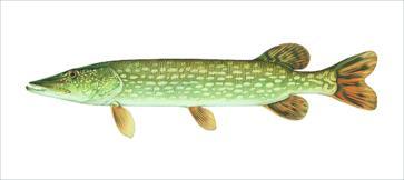 Freshwater gamefish of north america eighteen card set for North american freshwater fish